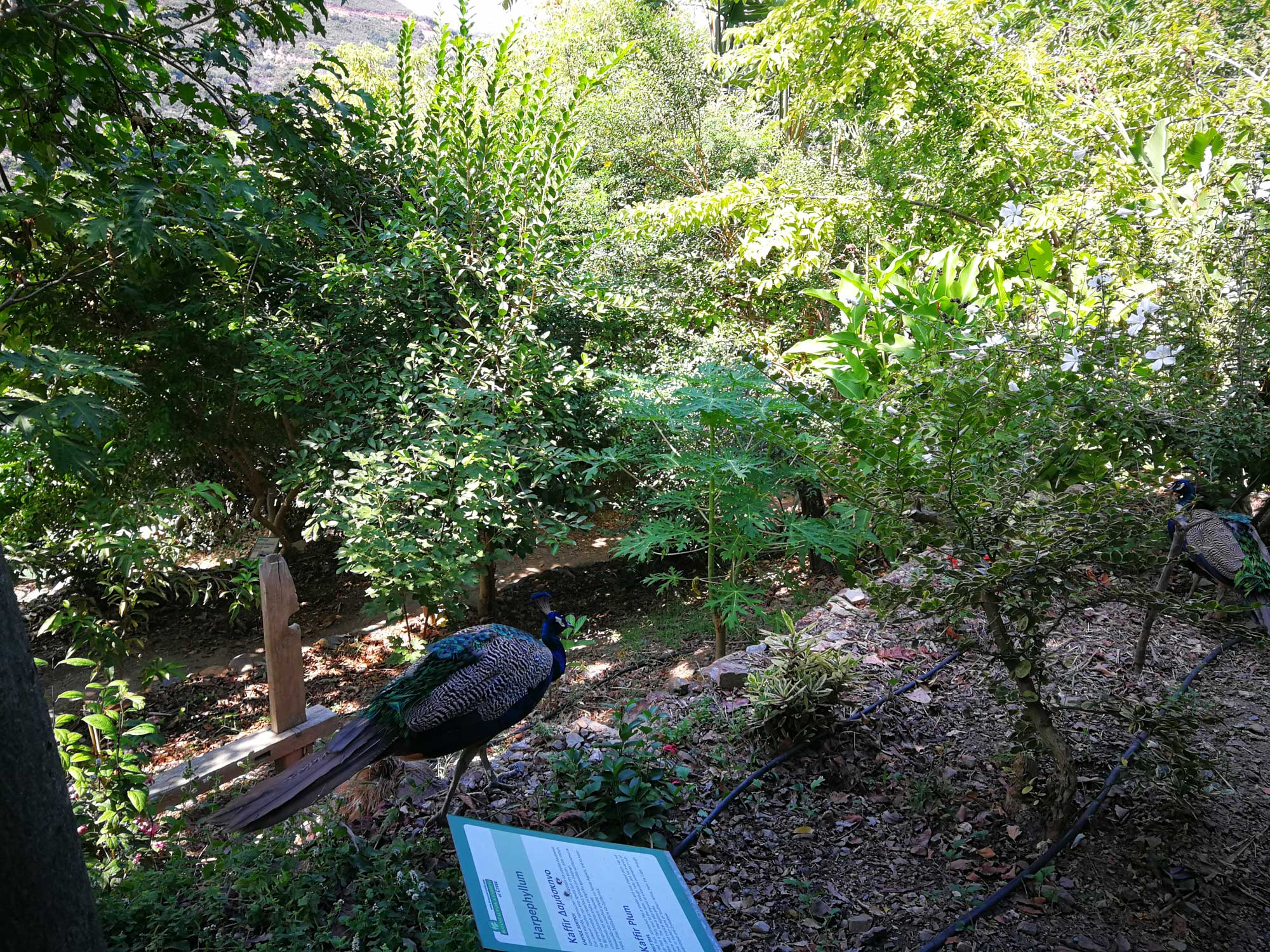 Peafowl in the Botanical Park & Gardens of Crete